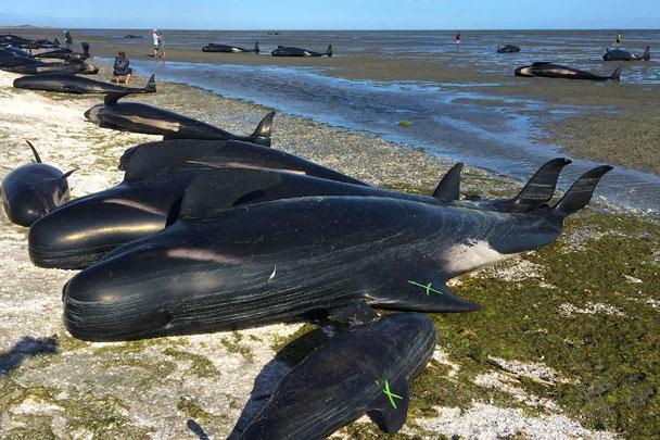 Шароголовые дельфины (гринды) выбросились на берег Южного острова в Новой Зеландии