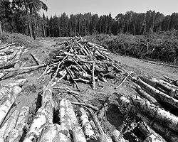 Итак, мы насмерть стоим, чтобы не допустить вырубки 114 гектаров леса под платную дорогу (фото: ИТАР-ТАСС)