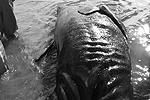 К моменту обнаружения киты были уже мертвы. Теперь специалистам предстоит выяснить, чем была вызвана их аномалия  (фото: facebook.com/Jesus Gomez )