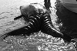Есть предположение, что сиамские близнецы серого кита уже родились мертвыми. Найденное тело в длину всего 7 футов, в то время как нормальная длина для новорожденного серого кита – от 12 до 16 футов (фото: facebook.com/Grabriela Rodriguez)