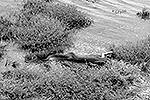 По словам Тиффани Корли, ставшей очевидцем произошедшего, съев крокодила, питон несколько часов неподвижно лежал в траве, в его животе можно было различить очертания проглоченных конечностей противника (фото: EPA/ИТАР-ТАСС)