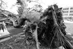 В деревне Емитан в японской префектуре Окинава тайфун выкорчевал из земли несколько огромных деревьев (фото: Hitoshi Maeshiro/EPA/ТАСС)