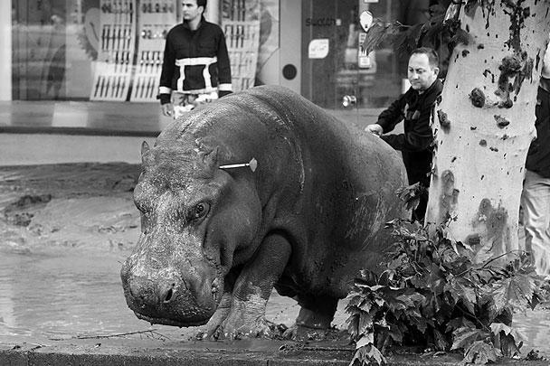Сбежавшего бегемота благополучно вернули в зоопарк