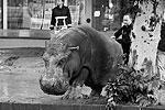 Сбежавшего бегемота благополучно вернули в зоопарк (фото: Beso Gulashvili/Reuters)