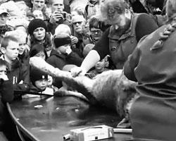 Вскрытие льва мало кого из малолетних зрителей может оставить равнодушным (фото: кадр из видео)