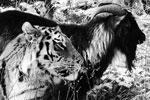История необыкновенной дружбы между козлом и тигром поразила интернет. Отданный на съедение тигру Амуру козел Тимур оказался очень храбрым и смог подружиться с хищником. Тигр даже отдал козлу свое место для сна в клетке, а сам переместился на крышу своего дома. Животные гуляют и едят вместе (фото: Юрий Смитюк/ТАСС)