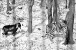 Работники зоопарка периодически кормили тигра Амура живой пищей. Но козел Тимур оказался особенным, и тигр отказался его есть. В зоопарке объяснили смелость козла тем, что его никто не научил бояться тигров (фото: Юрий Смитюк/ТАСС)