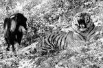Тигр и козел вместе принимают пищу, ходят гулять и ложатся спать. Работники зоопарка рассказывают, что Амур провожает Тимура до места для сна, они обнюхивают друг друга, и лишь потом тигр залезает на крышу своего домика (фото: Юрий Смитюк/ТАСС)