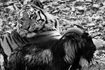 Главными любимцами российского интернета в 2015 году стали питомцы Приморского сафари-парка – тигр Амур и козел Тимур. В ноябре козла Тимура привели на съедение к тигру, но животные, к всеобщему удивлению, подружились. 21 декабря у тигра Амура и козла Тимура даже появились собственные страницы в соцсетях (фото: Виталий Аньков/РИА Новости)