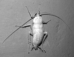 Белый таракан.