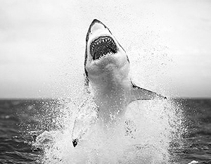 Самые необычные акулы (22 фото).  Акулы на охоте (25 фото).