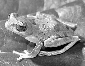 Лягушка Rhacophorus gadingensis с необычайно широкой головой