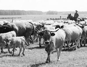 Численность коров в подсобном хозяйстве предлагают ограничить