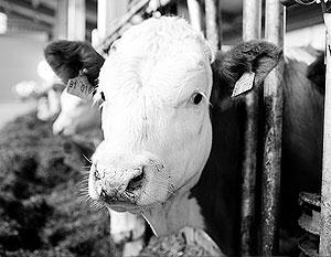 Около трети объема официально производимого молока в России являются «бумажными» надоями
