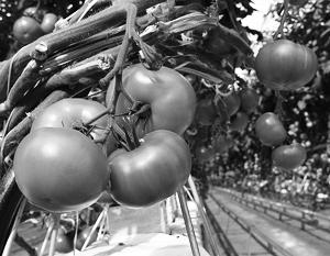 Экономика: В деле вытеснения турецких помидоров Россия надеется на теплицы