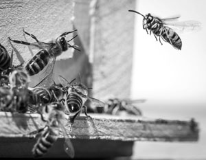 В США убили привезенных из России пчел