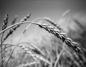 Россия справляется с экспортом пшеницы и без Китая