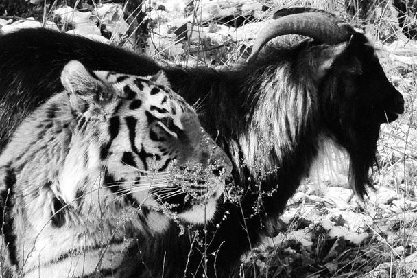История необыкновенной дружбы между козлом и тигром поразила интернет. Отданный на съедение тигру Амуру козел Тимур оказался очень храбрым и смог подружиться с хищником. Тигр даже отдал козлу свое место для сна в клетке, а сам переместился на крышу своего дома. Животные гуляют и едят вместе