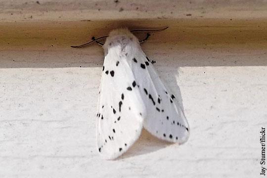 В Крыму обнаружили карантинную американскую белую бабочку