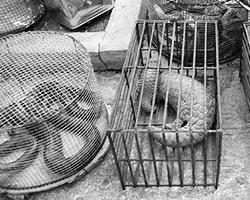 Нелегальная продажа панголинов на рынке (фото: Dan Bennett/Wikipedia)