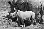 Маленькой (по носорожьим меркам) Ушинди из зоопарка Цюриха всего два месяца от роду, но она уже уверенно следует за своей мамой Саванной (фото: REUTERS/Arnd Wiegmann)