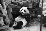 Большая панда занесена в Красную книгу. Разводить их очень сложно, так как в неволе они практически не размножаются(фото: Hayoung Jeon/EPA/ТАСС)