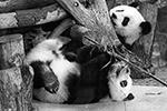 Весь год за маленькими пандами наблюдают не только жители Берлина, но и пользователи соцсетей по всему миру(фото: Hayoung Jeon/EPA/ТАСС)