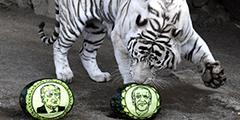 Предсказали результаты американских выборов трое животных из России – белый бенгальский тигр Хан, амурский тигр Бартек и камчатский бурый медведь Буян, которые обитают в красноярском Парке флоры и фауны «Роев ручей». Они выбирали из двух арбузов с изображениями претендентов. Хан «выбрал» Джо Байдена
