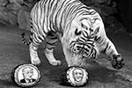 Предсказали результаты американских выборов трое животных из России – белый бенгальский тигр Хан, амурский тигр Бартек и камчатский бурый медведь Буян, которые обитают в красноярском Парке флоры и фауны «Роев ручей». Они выбирали из двух арбузов с изображениями претендентов. Хан «выбрал» Джо Байдена(фото: Илья Наймушин/РИА «Новости»)