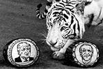 Тигр Хан долго принюхивался к действующему президенту США. Ему, как и американским избирателям, сложно определиться, кто приходится больше по вкусу(фото: Илья Наймушин/РИА «Новости»)