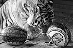 Амурский тигр Бартек, в отличие от коллег-«выборщиков», похоже, решил дать шанс Трампу(фото: Илья Наймушин/РИА «Новости»)