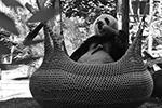 Большие панды обожают наслаждаются едой в подвесной корзине  (фото: SIPA Asia/ZUMA/Global Look Press)