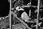 В длину большая панда достигает 1,2–1,8 м и имеет массу 17–160 кг (фото: SIPA Asia/ZUMA/Global Look Press)