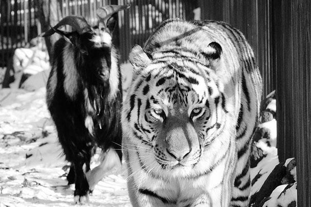 Тигр Амур не только везде сопровождает своего нового друга, но и охраняет его от сотрудников зоопарка. Он шипит на них, когда те пытаются подойти к Тимуру
