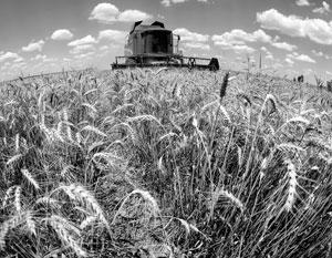 Украинская пшеница составила конкуренцию российской