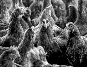 Основное «достоинство» птичьего гриппа – им действительно очень сложно заразиться