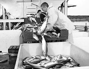 Доставка дальневосточной рыбы в Центральную Россию – по-прежнему проблема