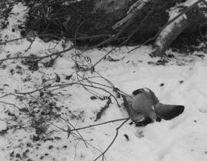 Дождь из мертвых птиц теперь обрушился и на Канаду
