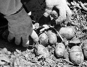 Украинский картофель оказался с червями