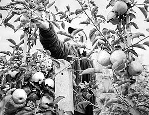 Россияне хотят есть отечественные яблоки, а их кормят польскими