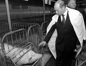 Владимир Путин во время посещания свинофермы