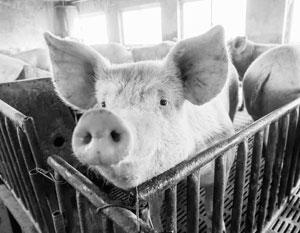 Российская свинья может укрепить торговые связи с Китаем