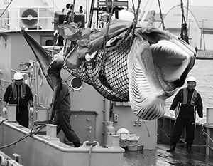 Японское правительство выступает «крышей» китобоев-браконьеров назло остальному миру