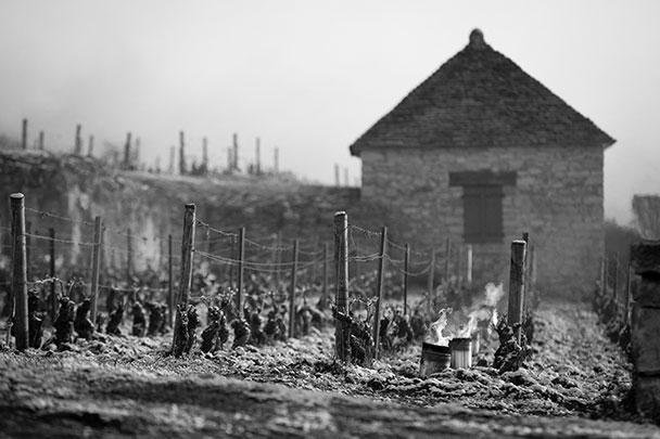 Урожай французского вина 2021 года оказался под угрозой. Из-за аномальных для начала апреля морозов (до -5), виноградники в регионах Бургундия, Шабли и Бордо пришлось обогревать с помощью костров и жаровен. Сообщается, что больше всего от заморозков пострадал цветущий раньше других сорт Шардоне