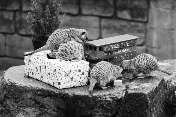 Животные в зоопарках всего мира начали отмечать Новый год и Рождество. Сотрудники зооботсадов приготовили для них особые подарки. Например, сурикатов в Ганноверском зоопарке угостили насекомыми, которых им еще предстоит добыть