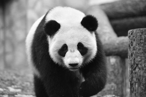 Президент России Владимир Путин и председатель КНР Си Цзиньпин посетили новый павильон Московского зоопарка, где приняли участие в передаче двух больших панд: самки по кличке Диндин и самца Жуи