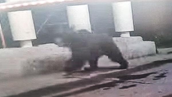 Жителей Мытищ предупредили о бегающем по улицам медведе