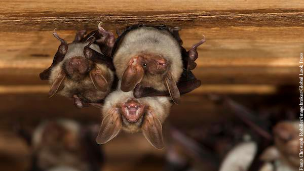 В Китае у летучих мышей обнаружили новые коронавирусы
